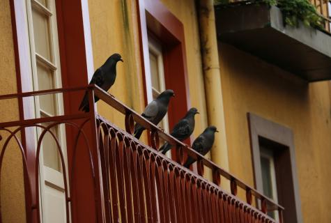 How to frighten off pigeons from a balcony?