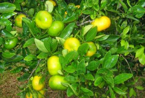 Rules of cultivation of citrus in house conditions