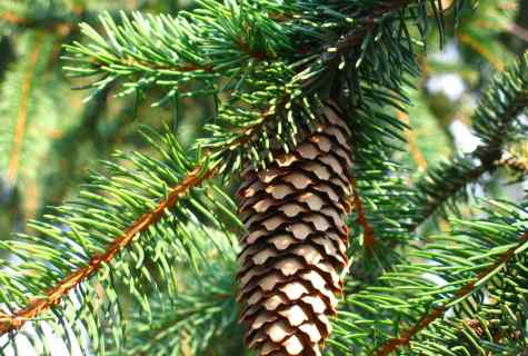 How to look after fir-tree