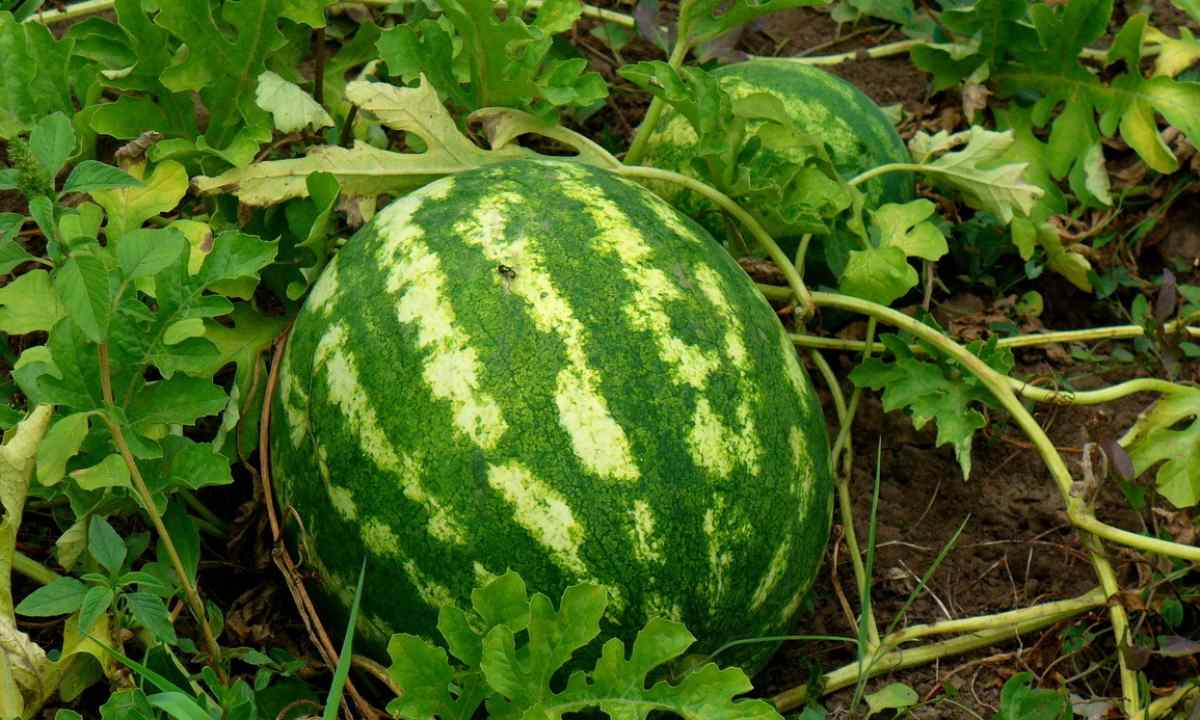 How to grow up watermelon