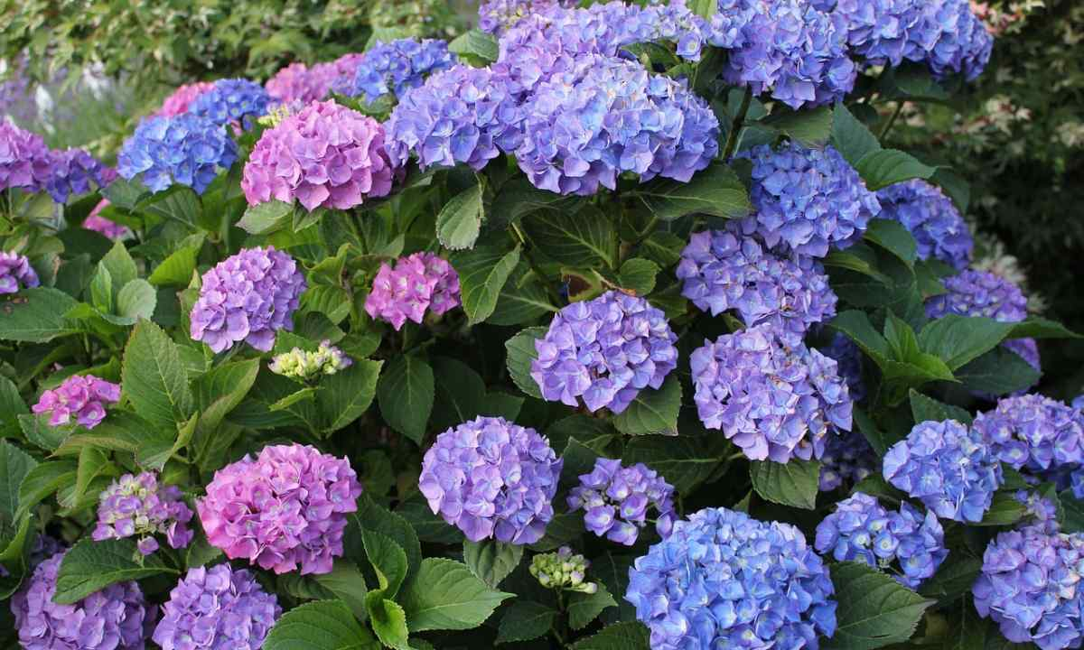 How to prepare hydrangea for cold weather
