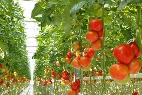 Than to feed up tomatoes in the greenhouse